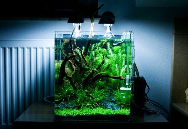 plante aquarium betta