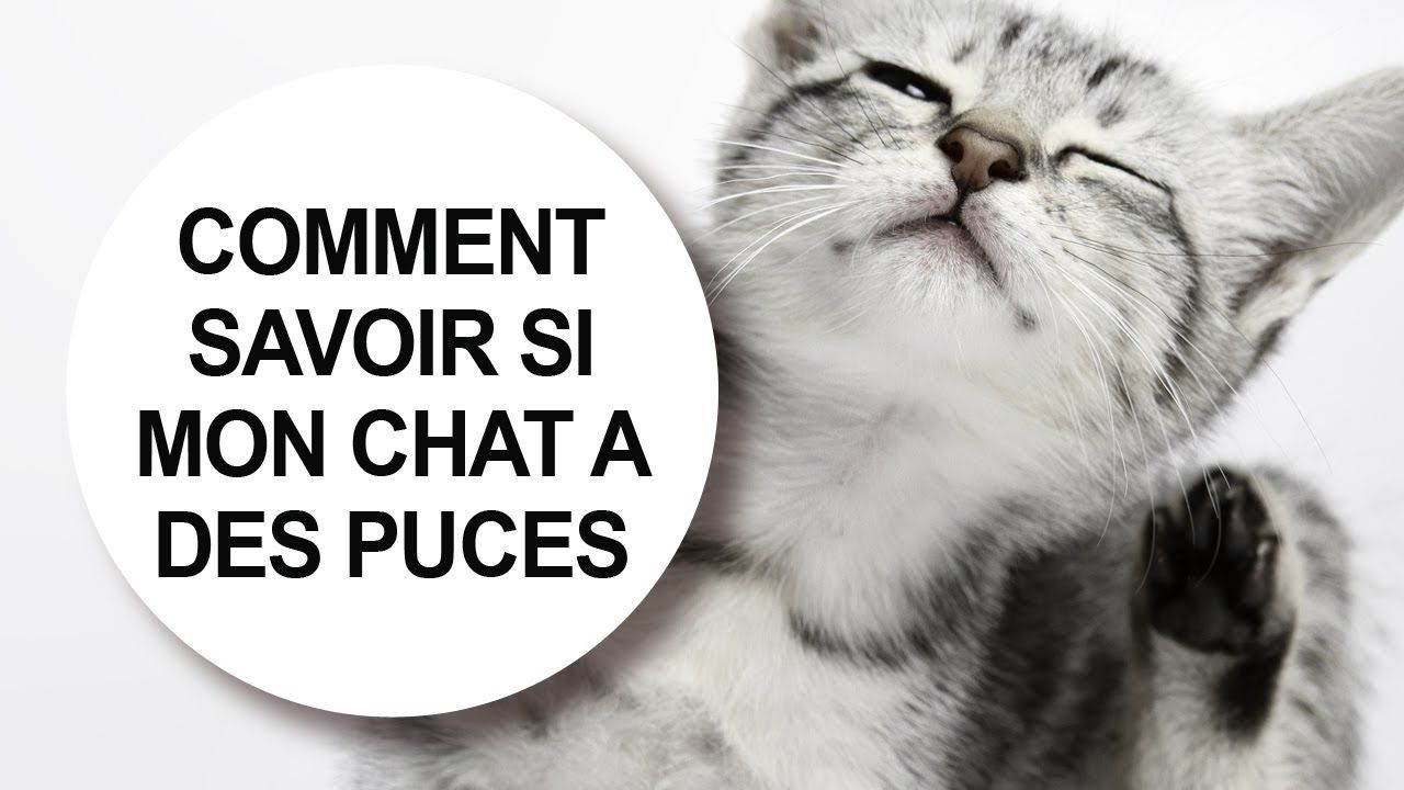 tuer puces chat